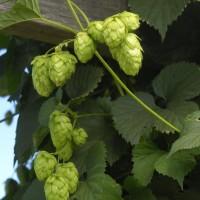 hop harvest featured